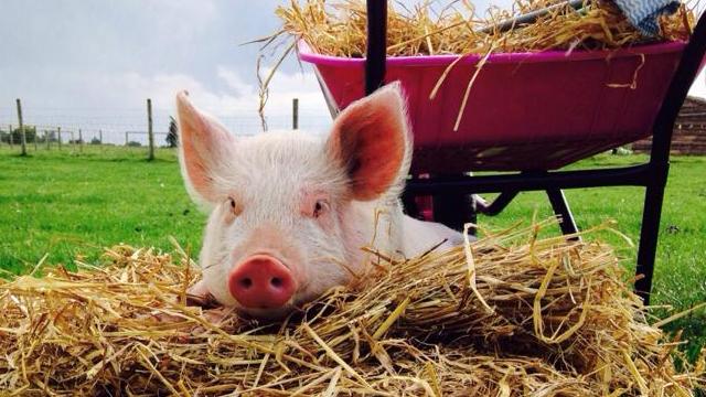 Piglets Adventure Farm...